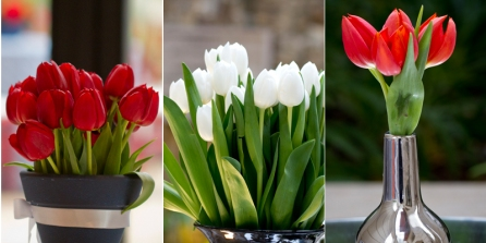 tulipescolores005